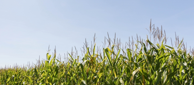 Photo: Corn field